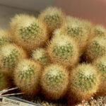 Род кактусов Ахарагма (Acharagma). Описание видов с фото
