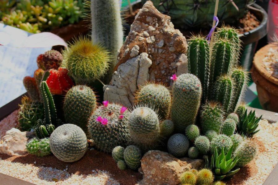 Долгожители среди кактусов