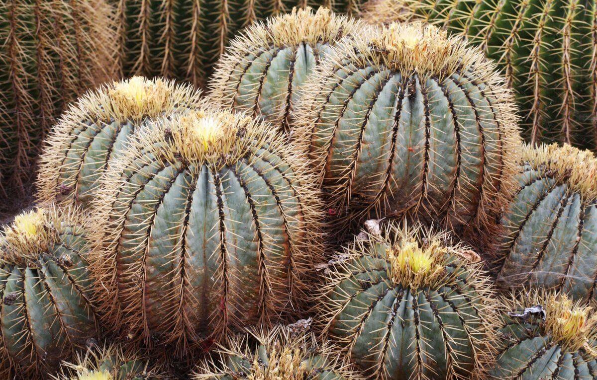 Фиговая группа кактусов