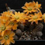 Род кактусов Медиолобивия (Mediolobivia). Описание видов с фото