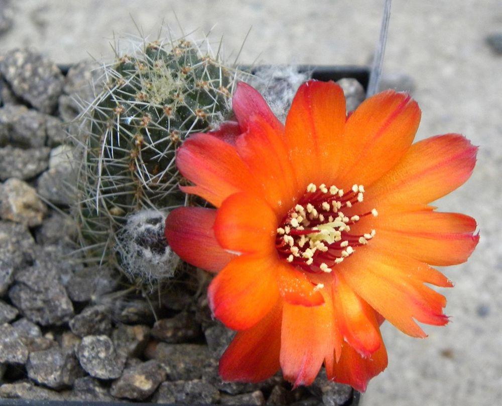 Медиолобивия прекрасноцветущая (Mediolobivia euanthema)