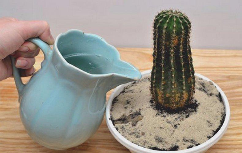 Ухаживайте за кактусами правильно