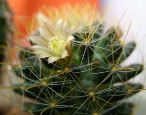 Кактус — интересное растение
