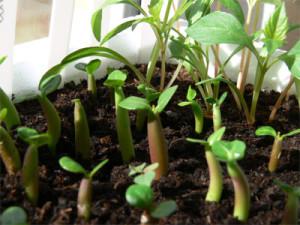 Размножение адениума семенами