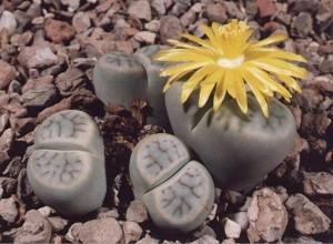 Живые камни или Литопсы украсят подоконники