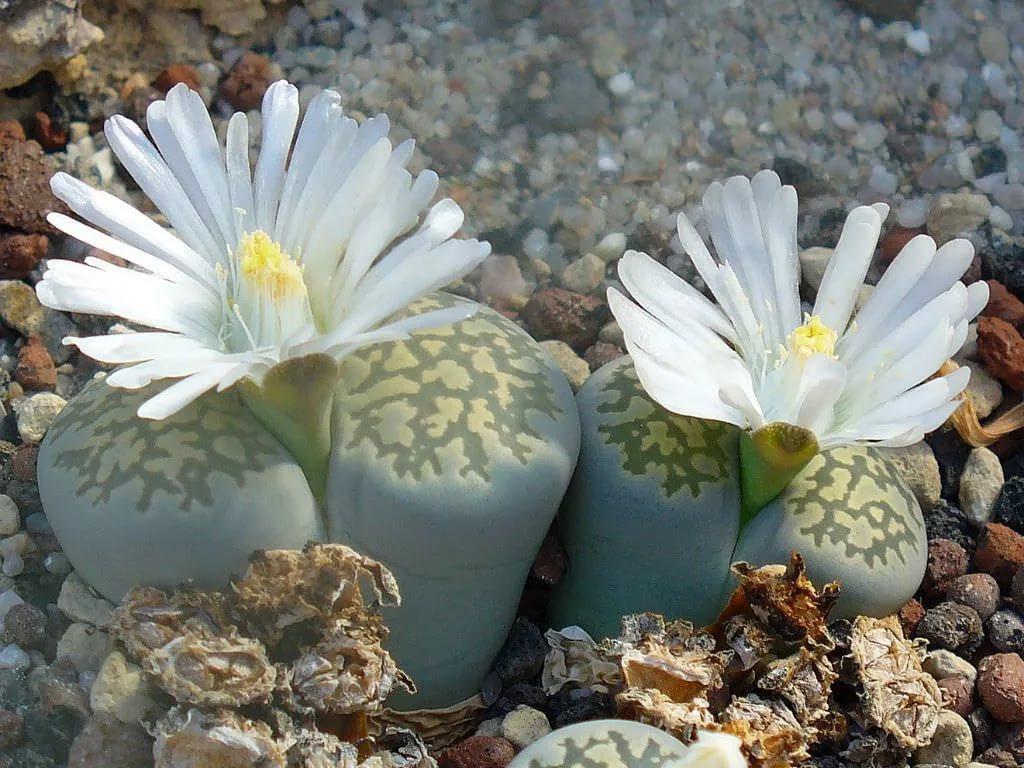 Адаптация суккулентных растений Литопс