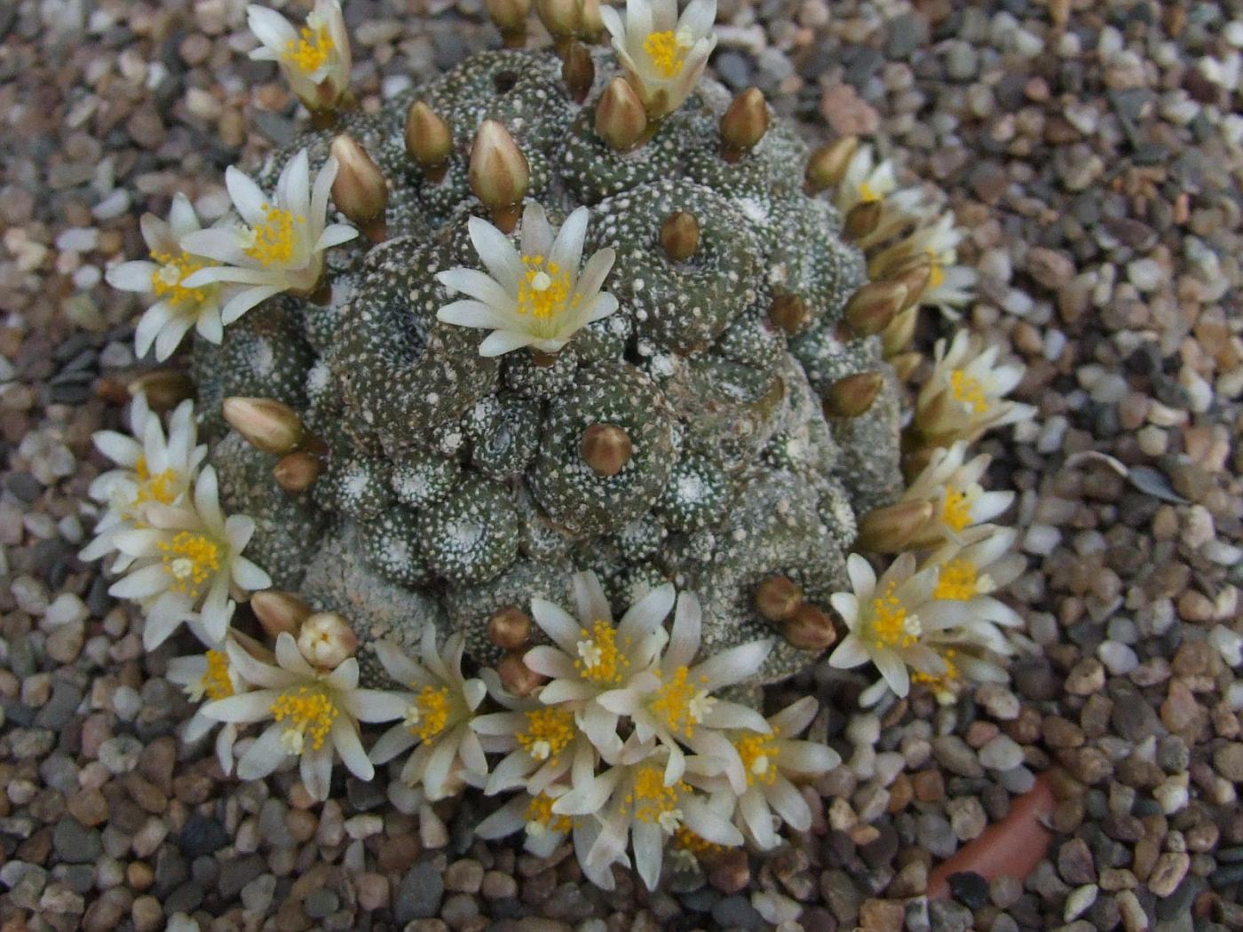 Blossfeldia atroviridis Ritt