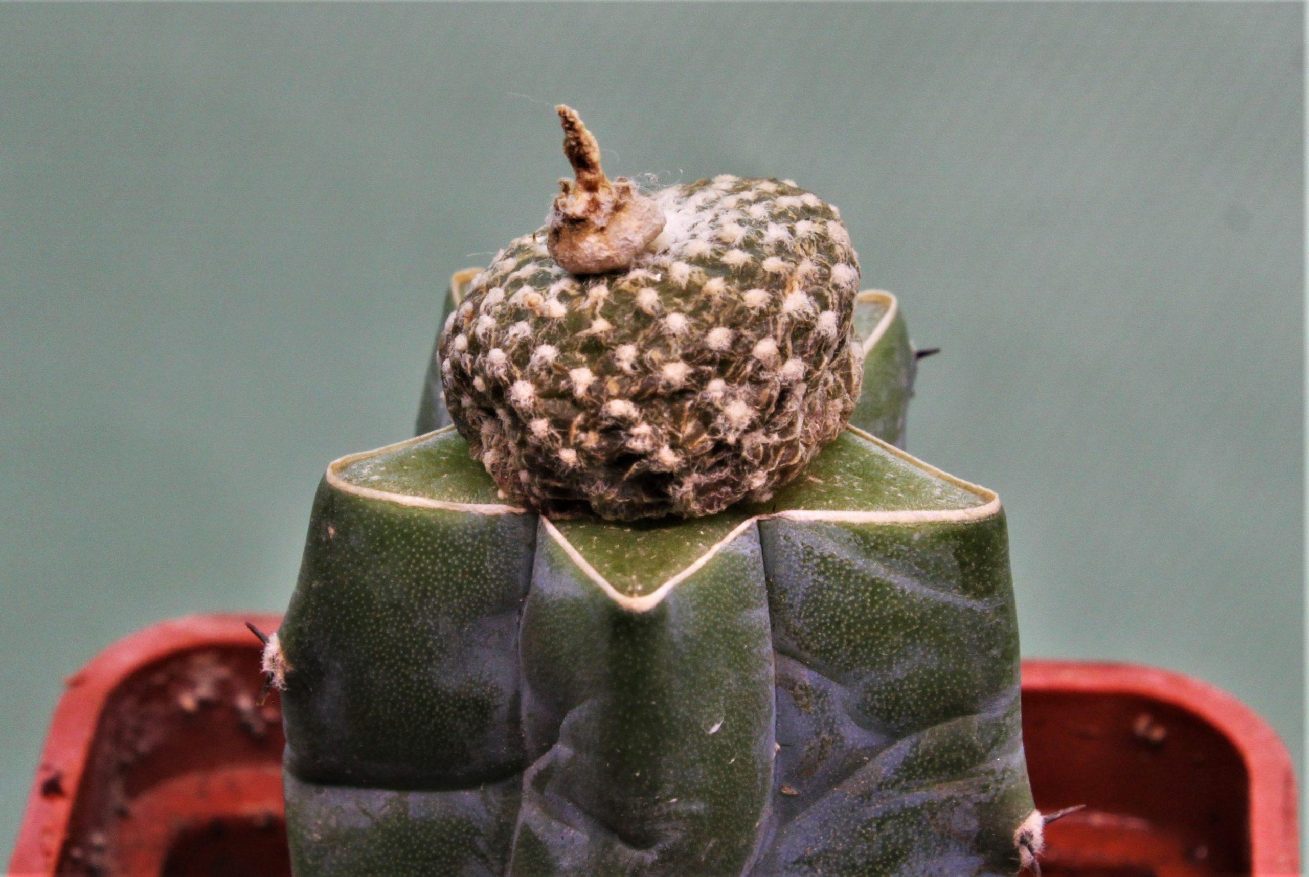 Blossfeldia fechseri Backbg