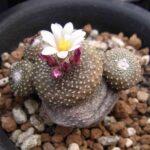 Род кактусов Блоссфельдия. Описание видов с фото и видео