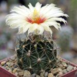 Род кактусов - Хаматокактус (Hamatocactus). Описание видов с фото и видео