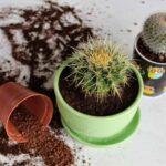 Когда пересаживать кактусы?