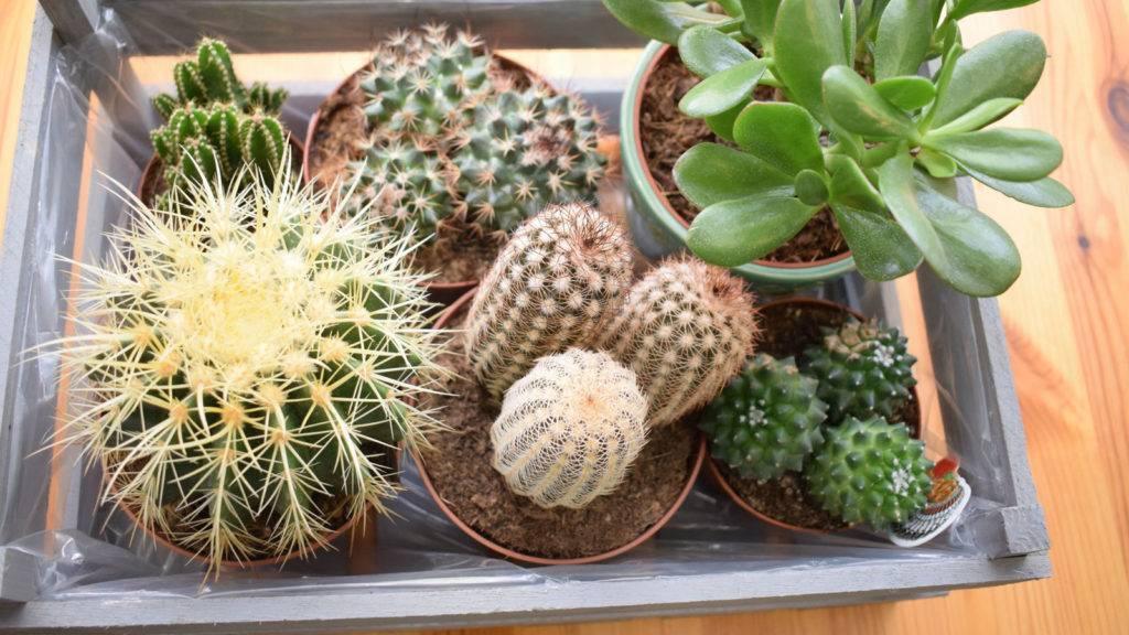 Комфортные условия для кактусов