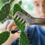 Размножение кактусов при пмощи черенков