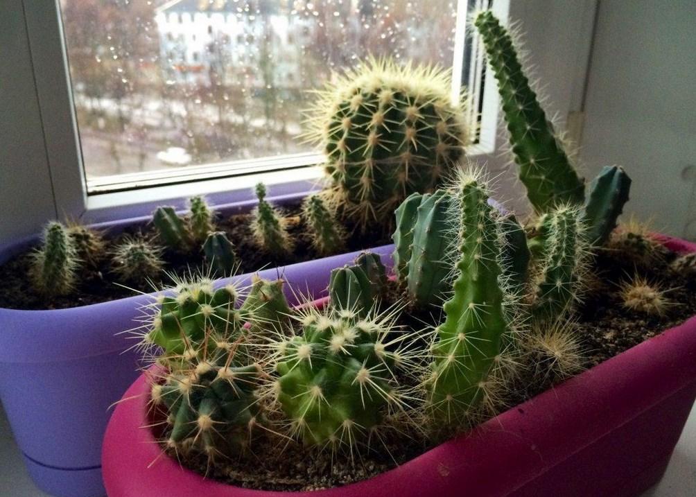 Советы новичку о выращивании кактусов