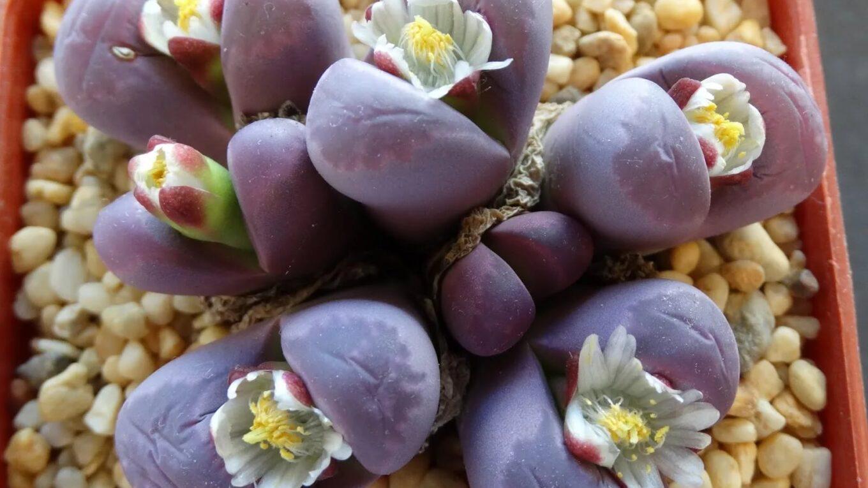 Суккулентное растение Литопс