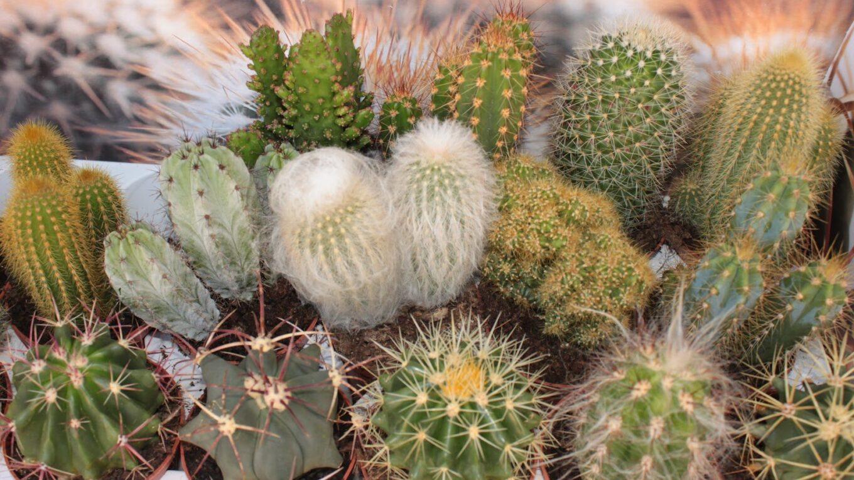 Свет в культуре кактусов