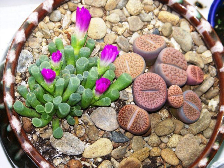 Уход за суккулентными растениями Литопс