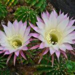 Род кактусов - Эхинопсис (Echinopsis)