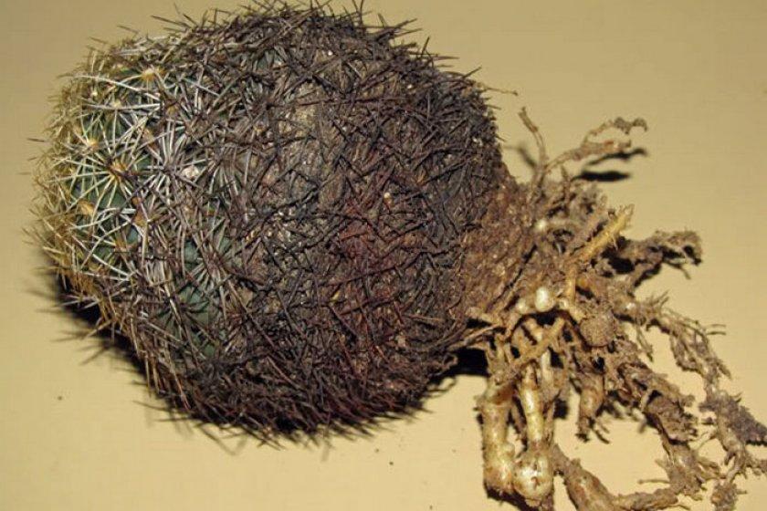 Галловая (кактусовая) нематода