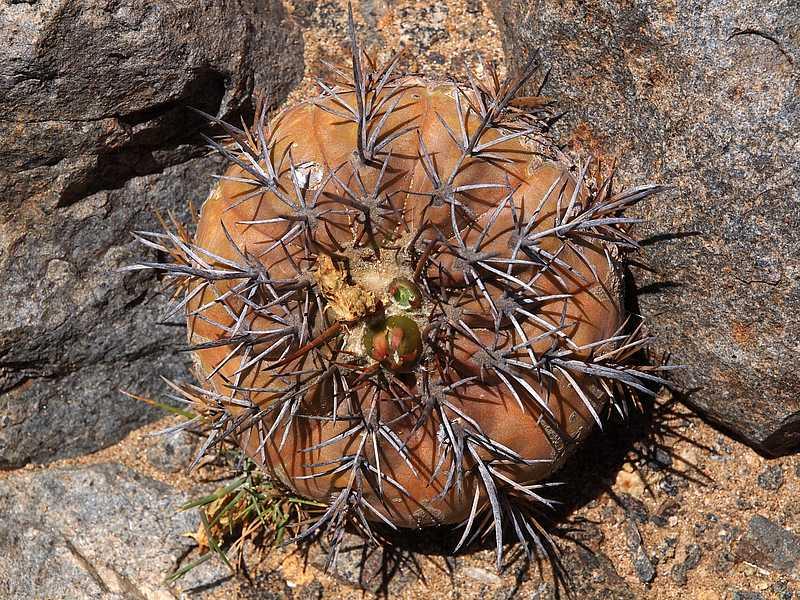 Копиапоа эхиноидес (Copiapoa echinoides)