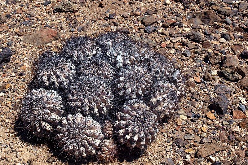 Копиапоа пепельный, синий (Copiapoa cinerea)
