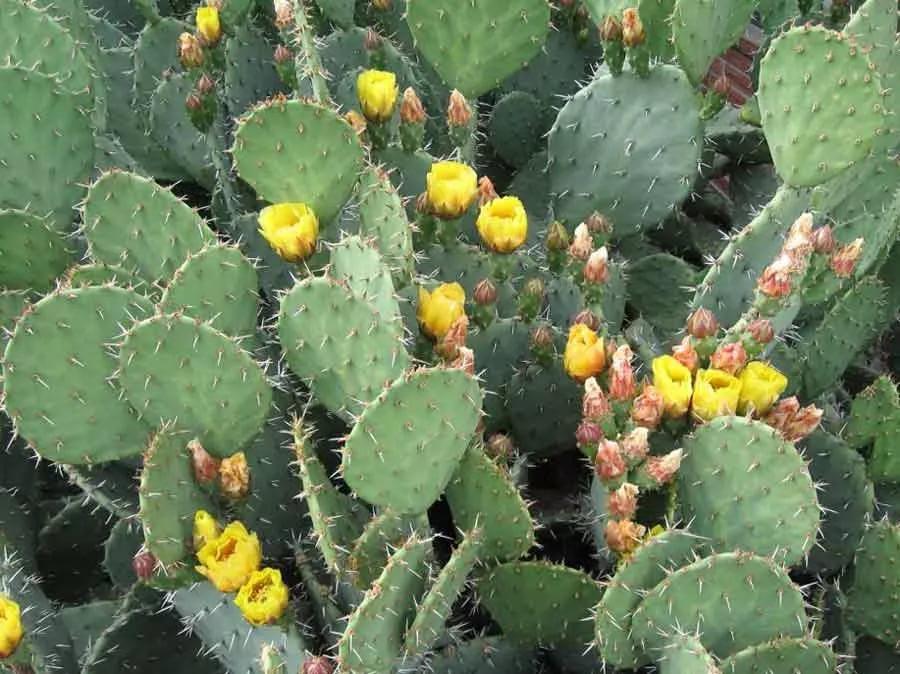 Опунция кюрасавская (Opuntia curassavica)