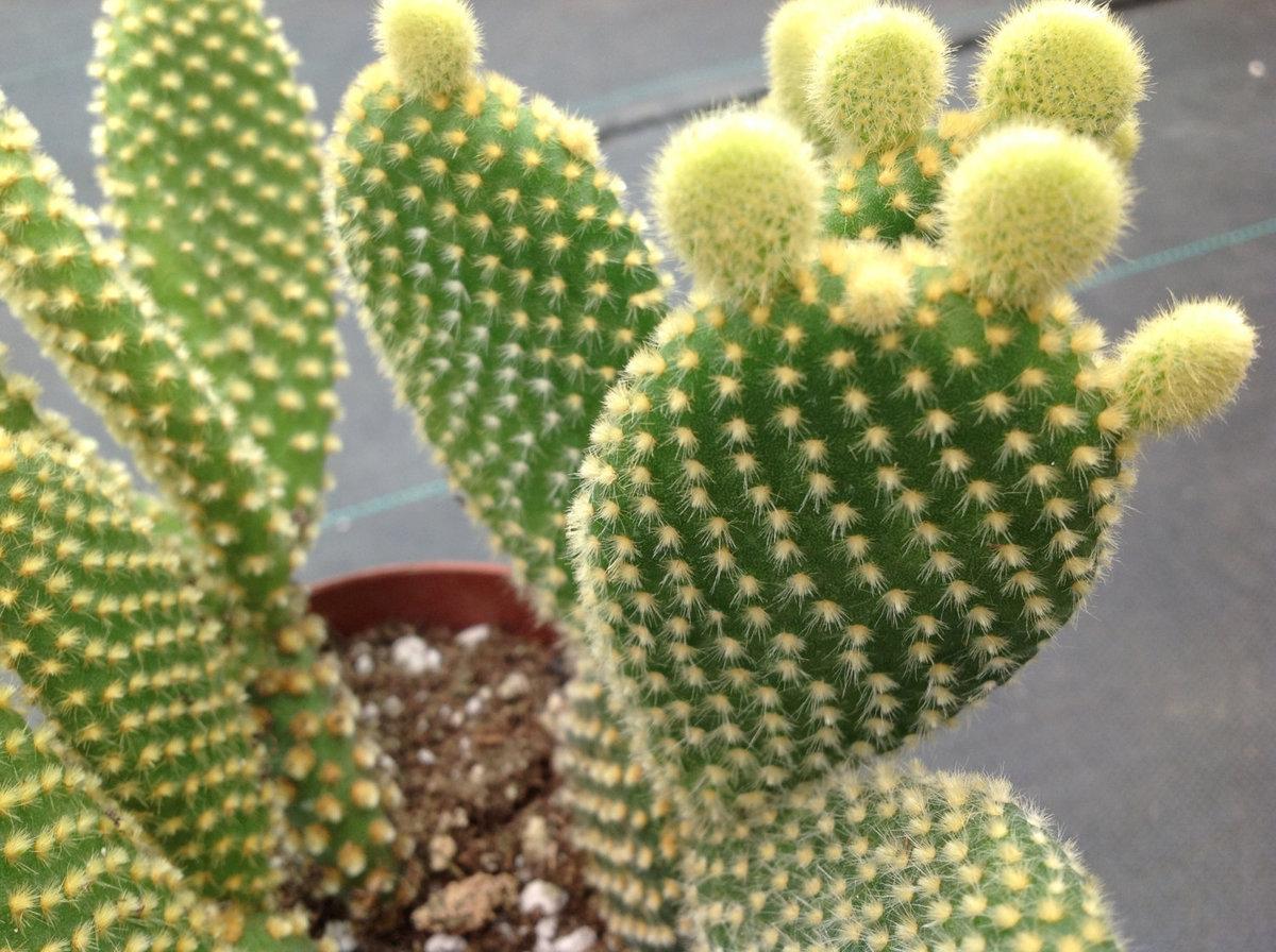 Опунция мелковолосистая (Opuntia microdasys)
