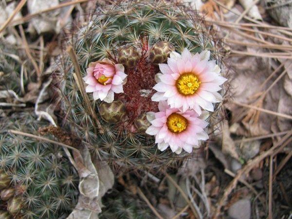 Pediocactus simpsonii (Engelm.) Britt. et Rose