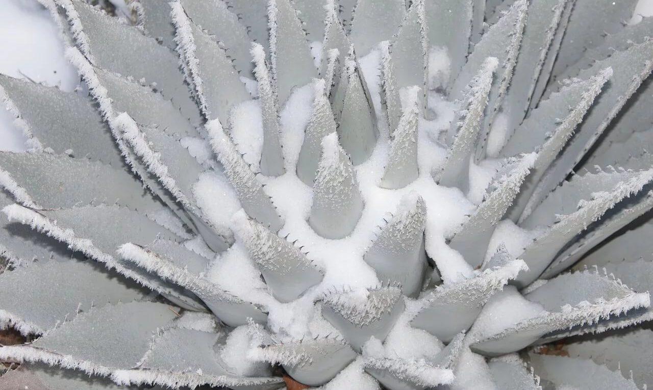 Повреждение кактуса от заморозков