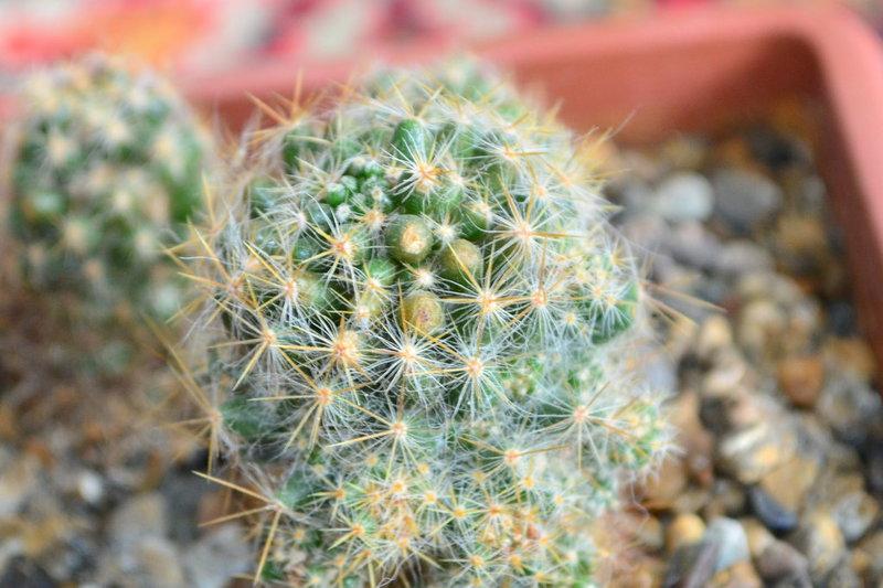 Распространенные вредители кактусов