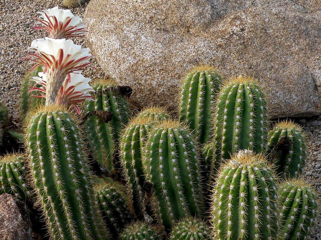 Уникальные адаптационные приспособления кактусов