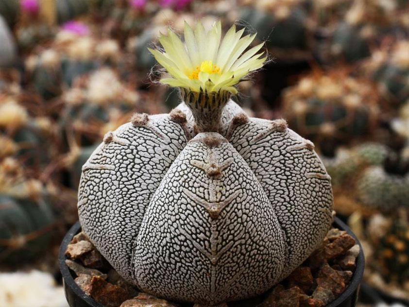 Астрофитум крапчатый (Astrophytum myriostigma)