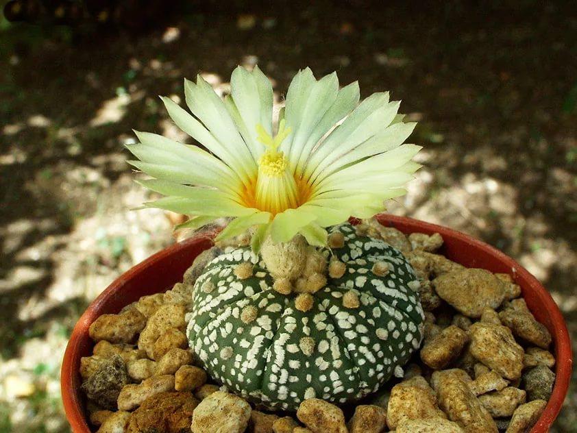 Астрофитум звездчатый (Astrophytum asterias)