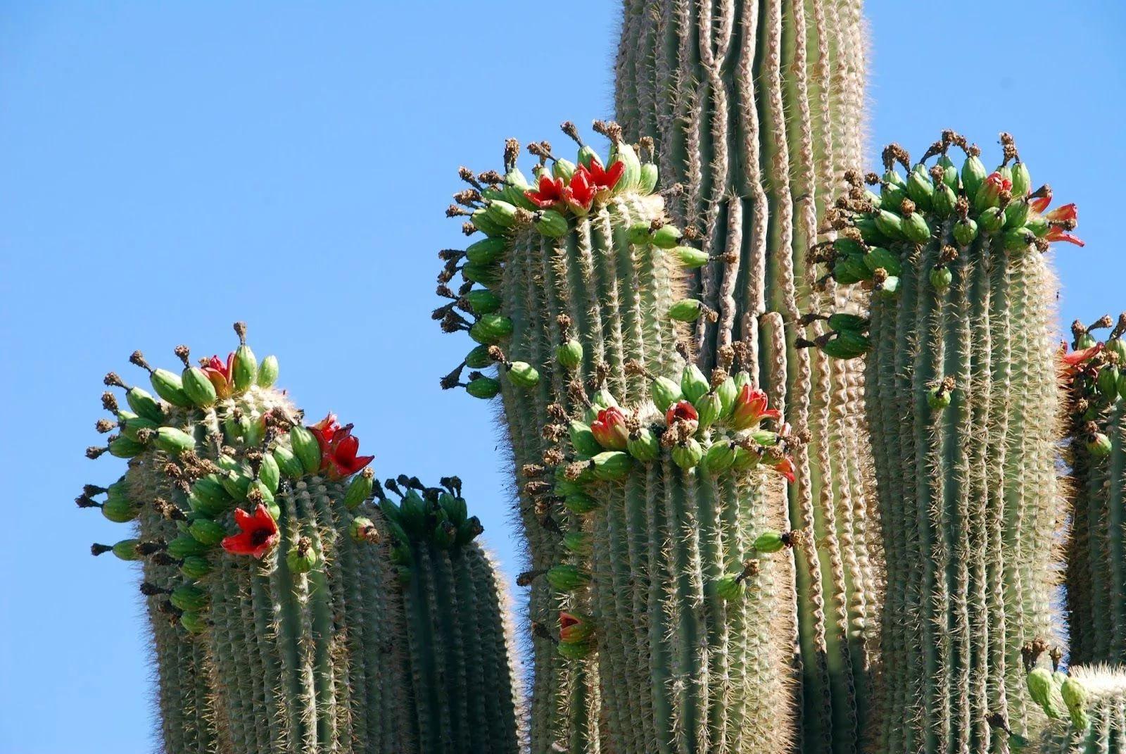 Цереус гигантский (Cereus giganteus, Carnegiea gigantea или Saguaro)