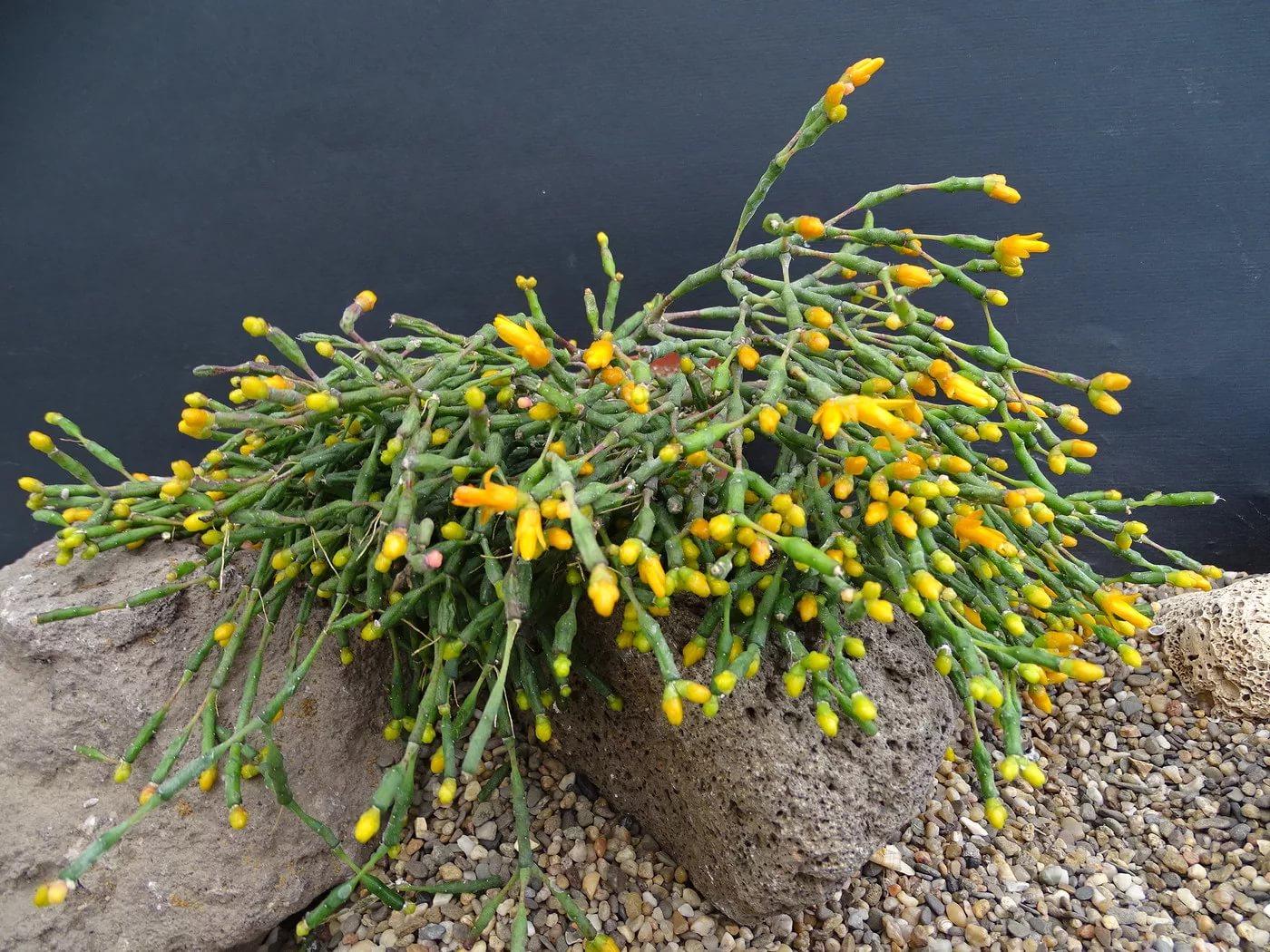 Хатиора солеросовая, саликорнеивидная (Hatiora salicornioides)