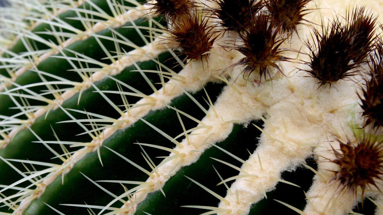 Колючки представителей семейства Cactaceae
