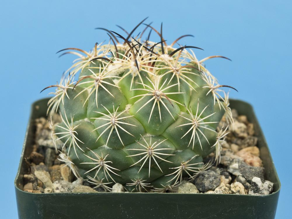 Корифанта калипанская (Coryphantha calipensis)