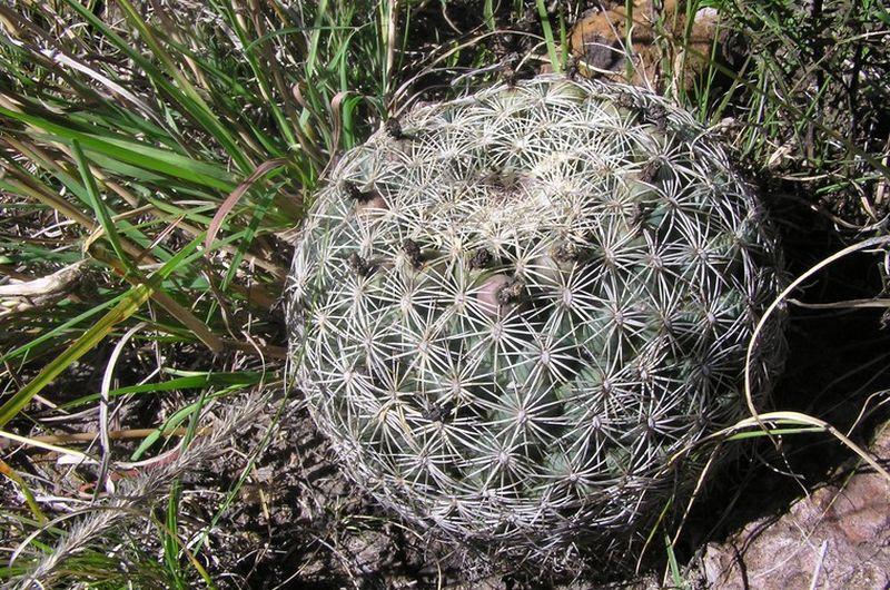 Корифанта отогнутая (Coryphantha recurvata)