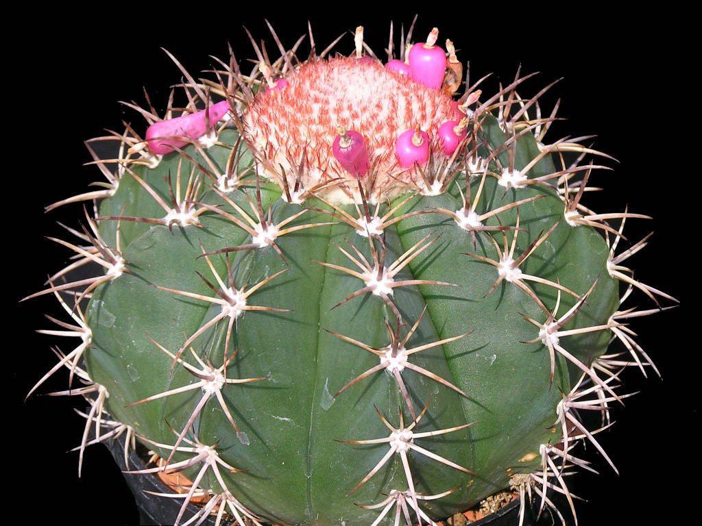 Мелокактус байский (Melocactus bahiensis)