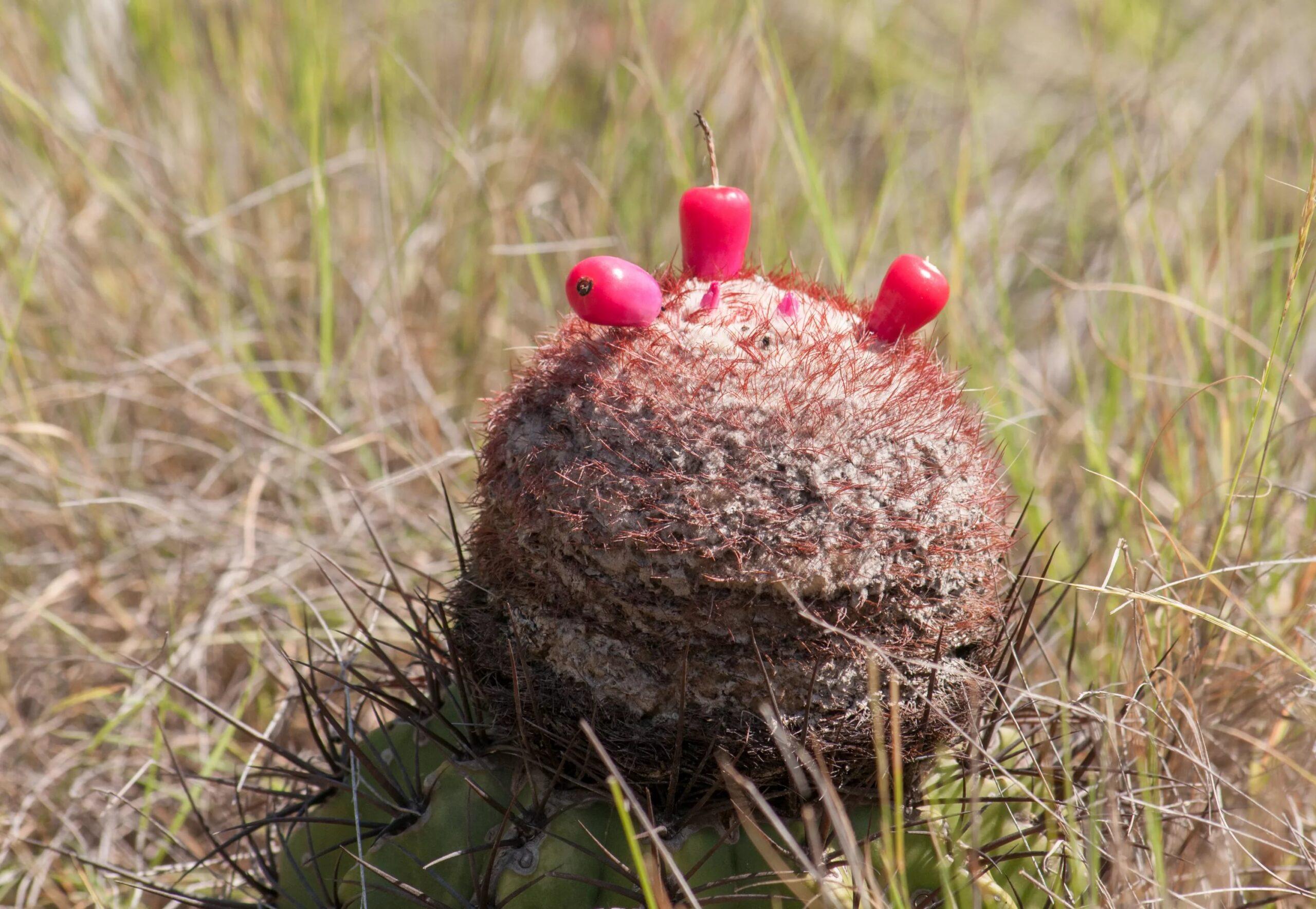 Мелокактус коммунис (Melocactus communis)