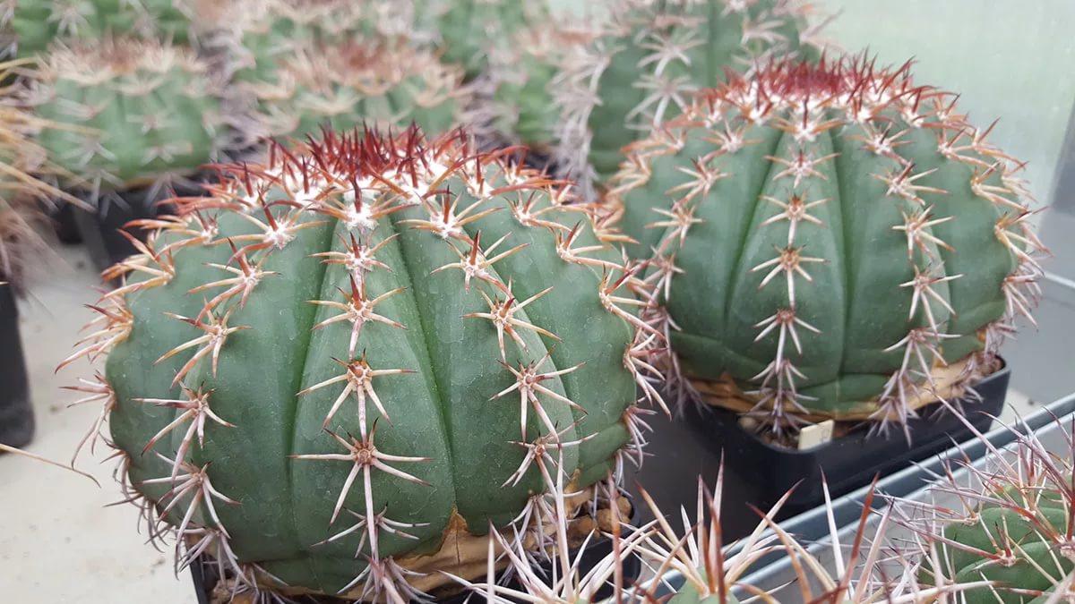Мелокактус приятный (Melocactus amoenus)