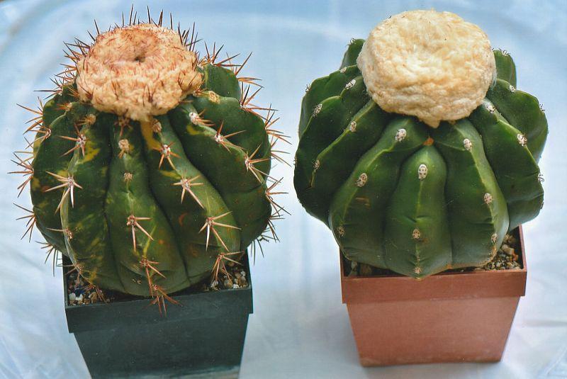 Мелокактус серо-голубой (Melocactus caesius)