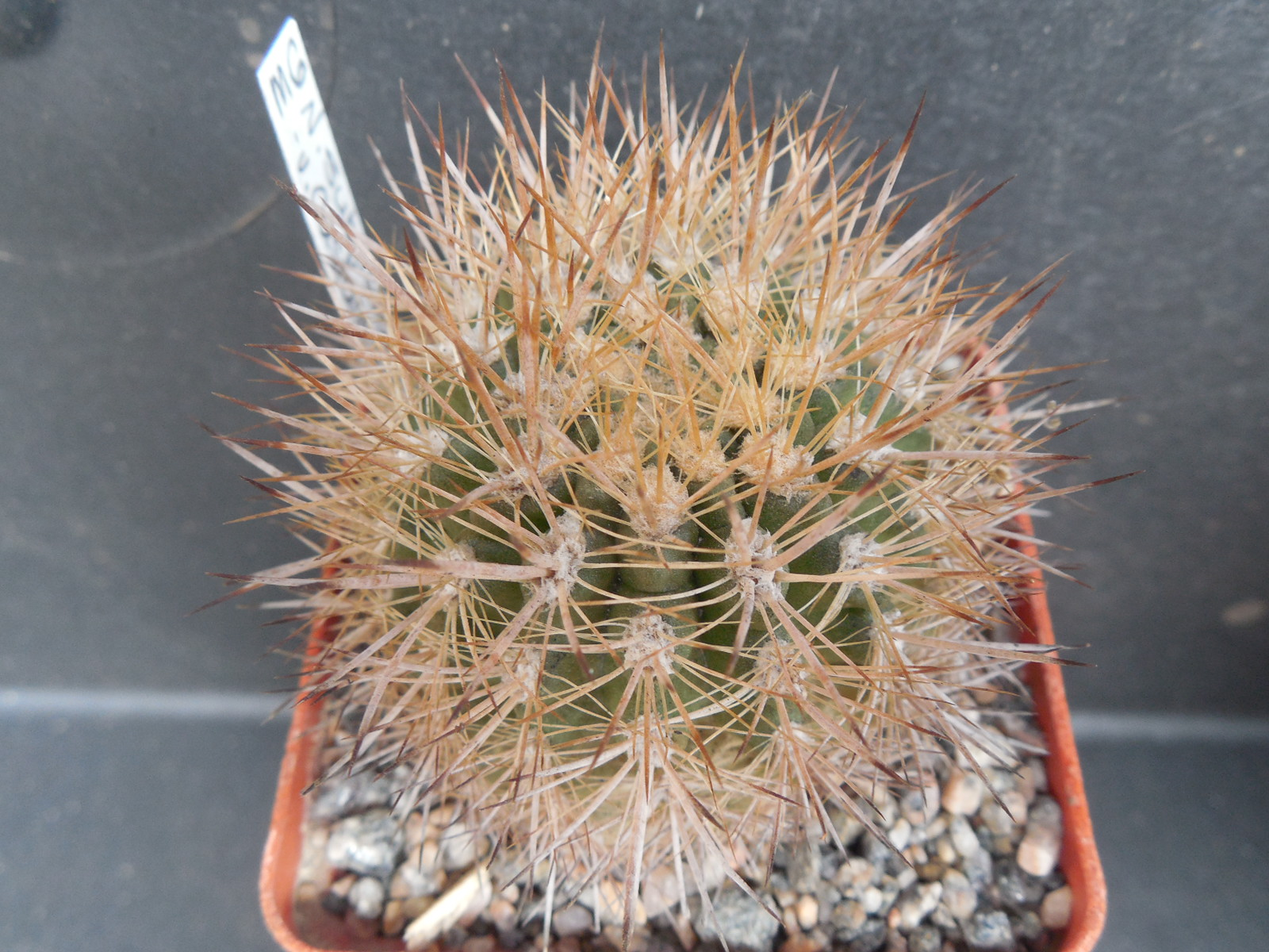 Neoporteria castaneoides (Cels) Werd