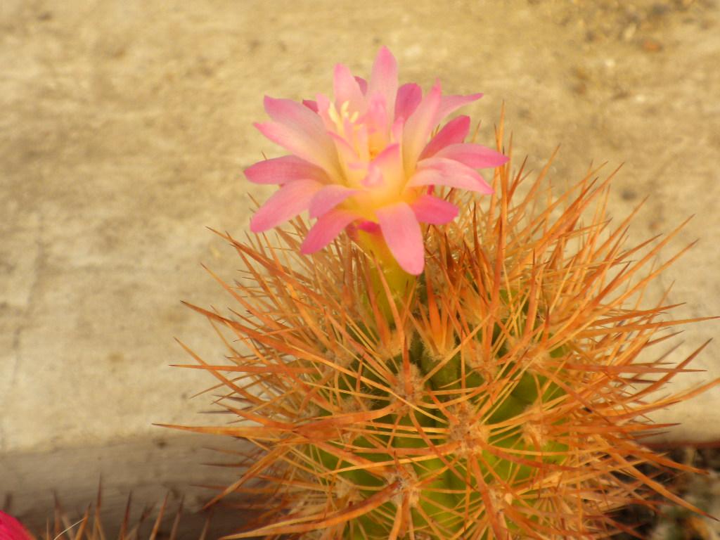 Neoporteria subgibbosa (Haw.) Britt. et Rose