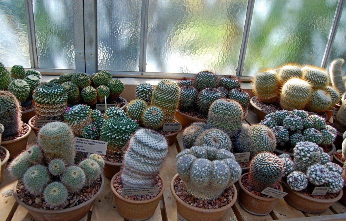 Особенности ухода за кактусами