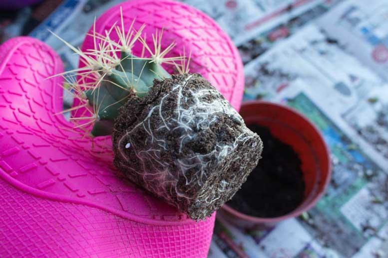 Полезные советы по пересадке кактусов