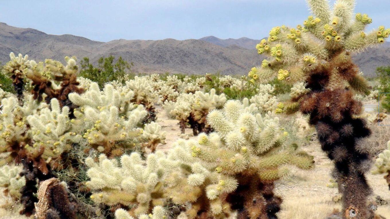 Род кактусов - Цилиндропунция. Описание