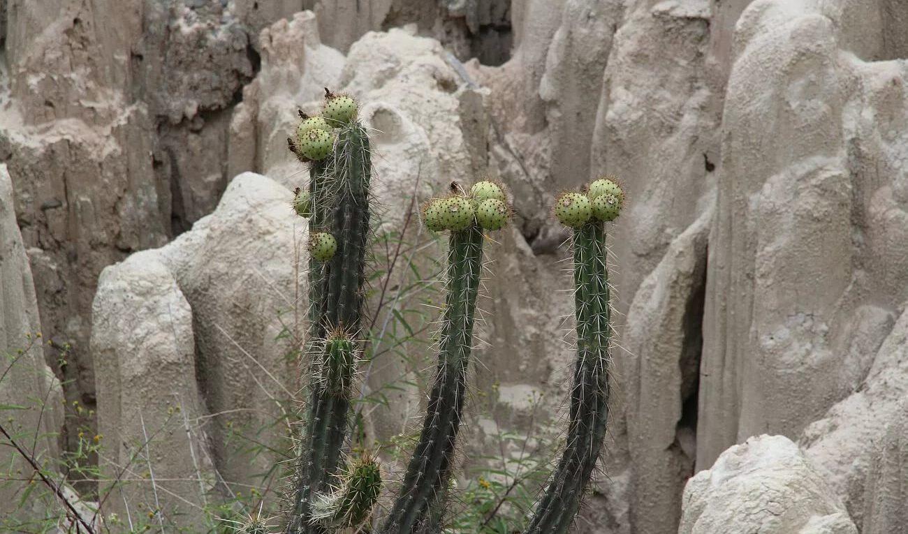 Род кактусов - Корриокактус