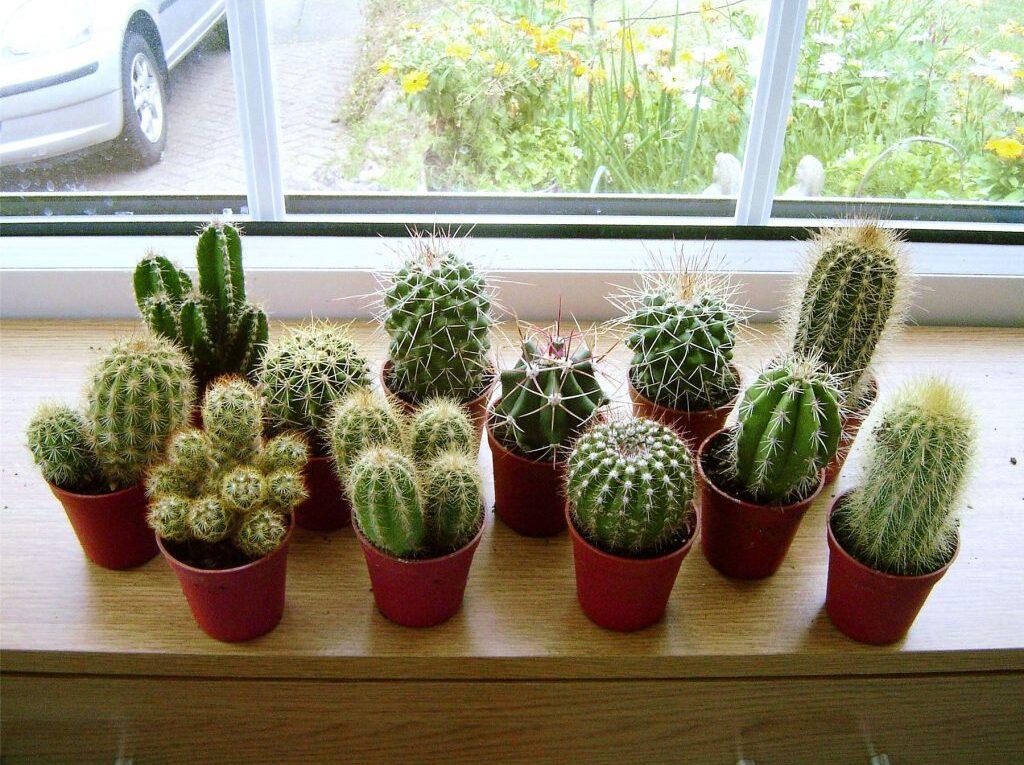 Уход за домашними кактусами