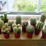 Уход за домашними кактусами без мифов